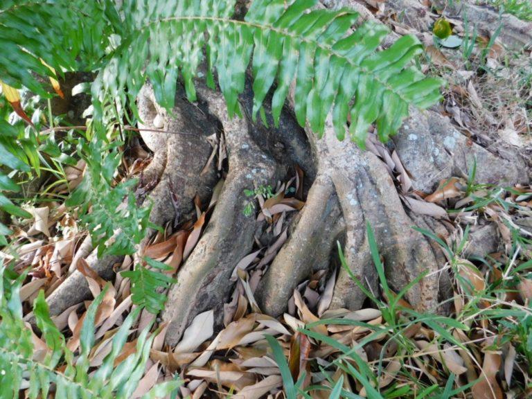 Racines tortueuses arbre fruitier : pied de letchi