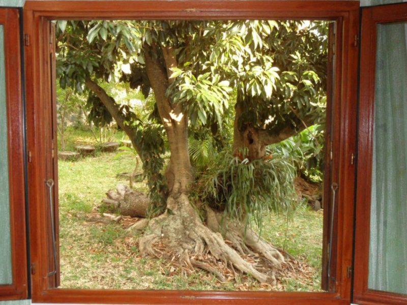 Beau jardin tropical arboré Pied de Letchi